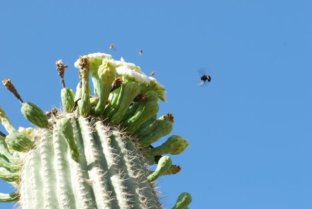 saguaro-flower-carpenter-bee-111