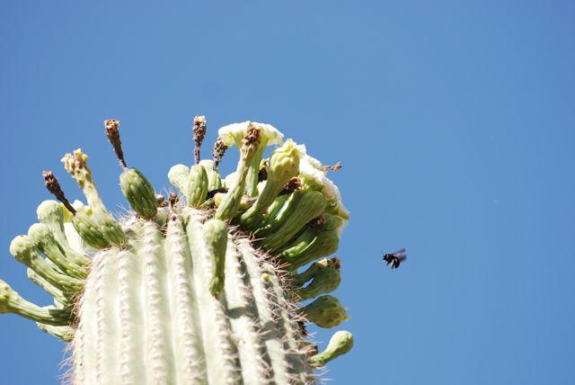 saguaro-flowers-bees-123