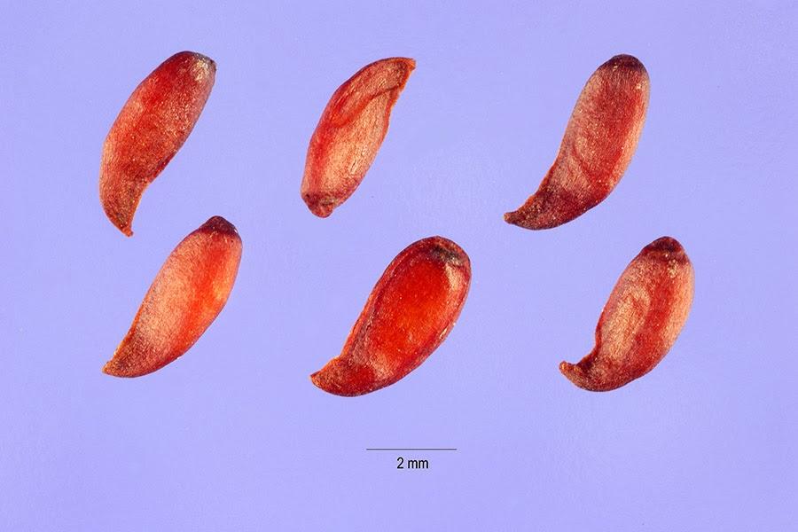 sorbus-americana-seeds