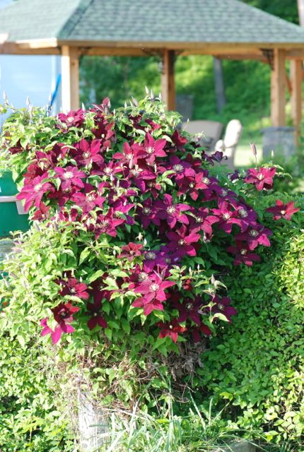 deep-red-clematis-vine