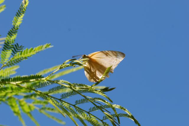 desert-fern-butterfly