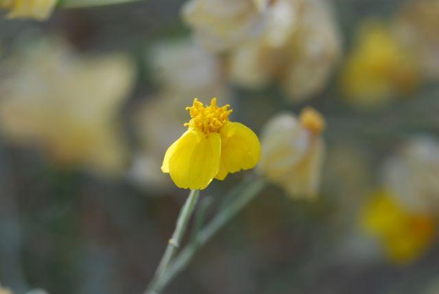 paperflower-at-dbg