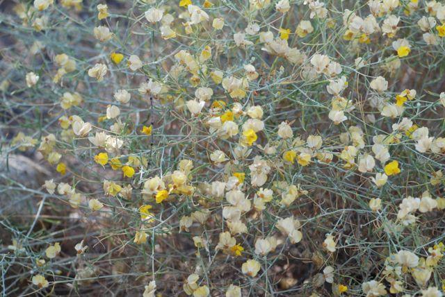 paperflower-plant-101
