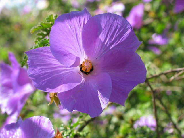 blue-hibiscus-close-up