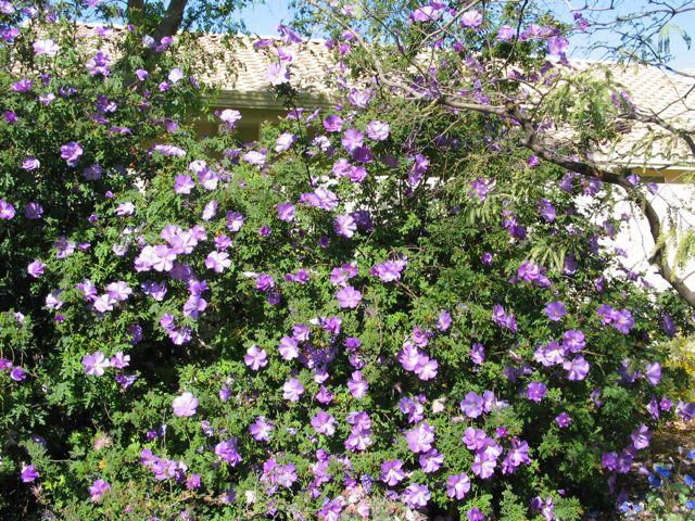 blue-hibiscus-shrub
