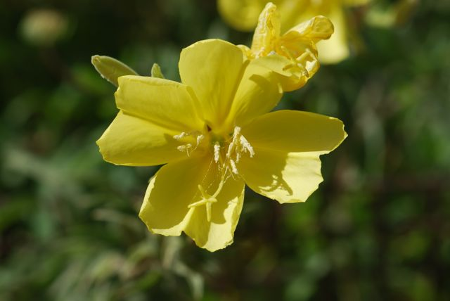 hooker's-primrose-flower-1