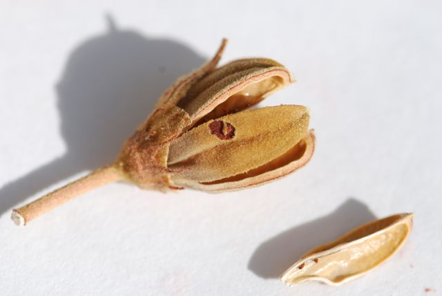 mystery-seed-212-pod-2