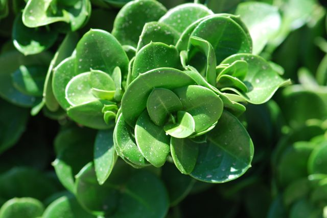 natal-plum-leaves