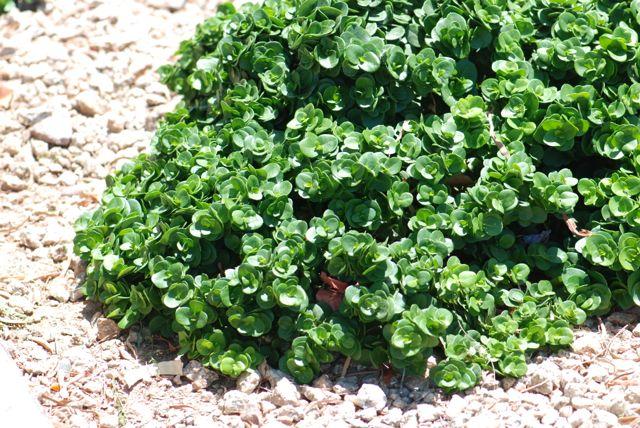 natal-plum-plant-shrub