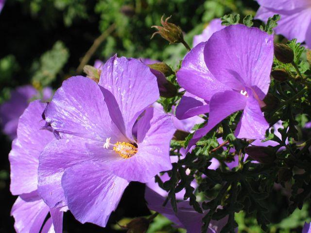 nice-blue-hibiscus-side