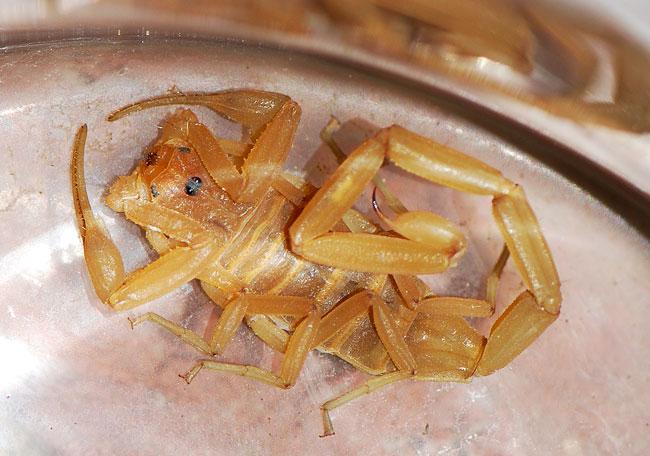 scorpion-close-up