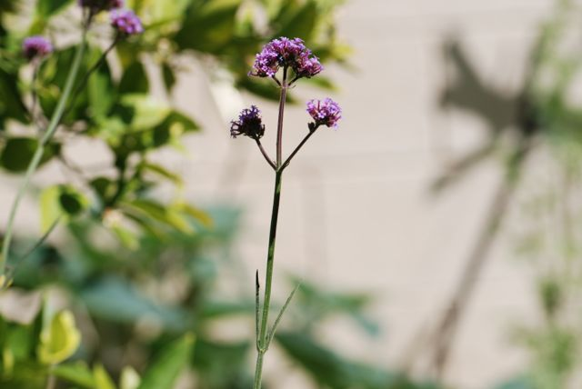 purpletop-verbain-33