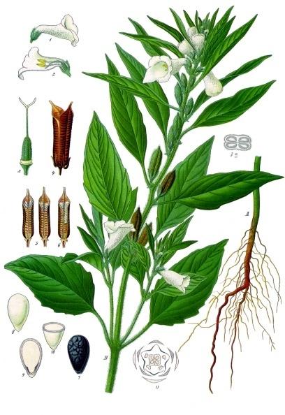 Sesamum_indicum_-_Köhler–s_Medizinal-Pflanzen-129