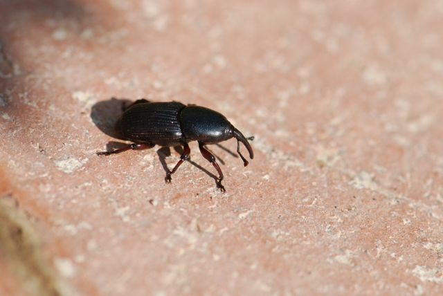 agave-weevil-good-further