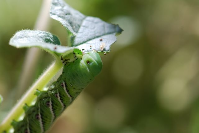 hornworm-green-head
