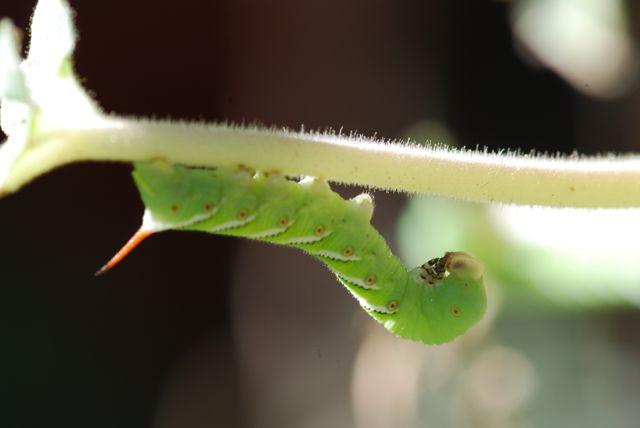 hornworm-white-head