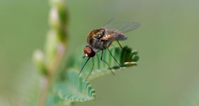 slender-bee-fly-geron