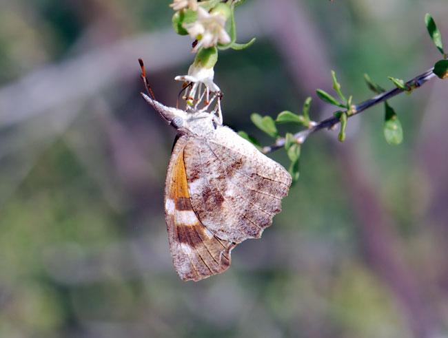 snout-butterfly