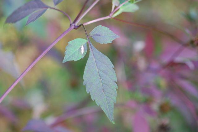 beggars-tick-leaves