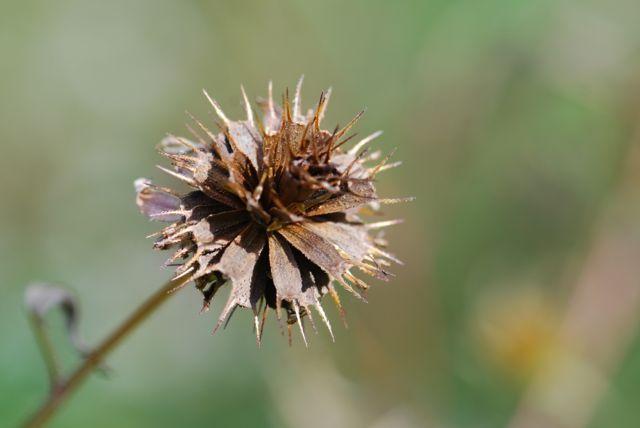 beggars-tick-seed-head