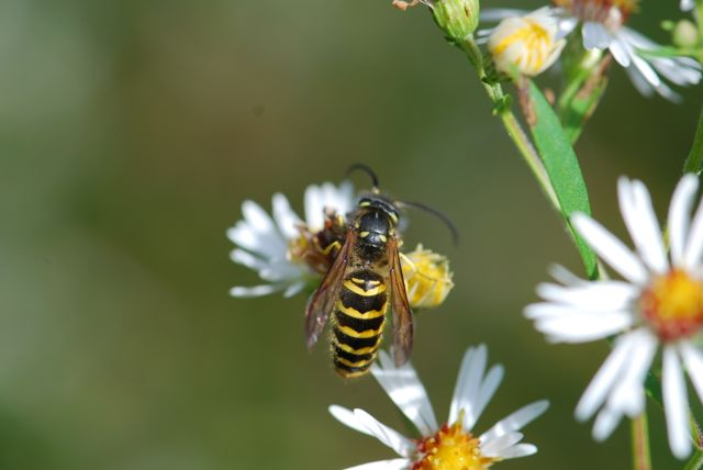 eastern-yellw-jacket-vespula