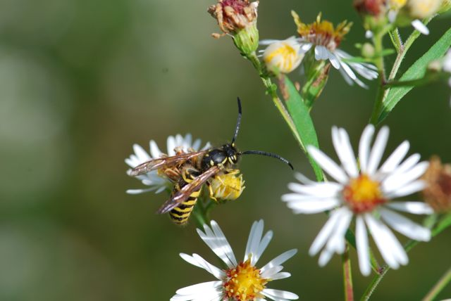 yellow-jacket-wasp-vespula