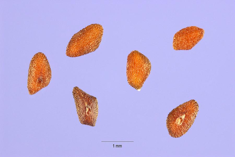 Plantago major seeds