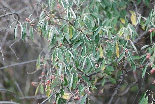 autumn-olive-plant