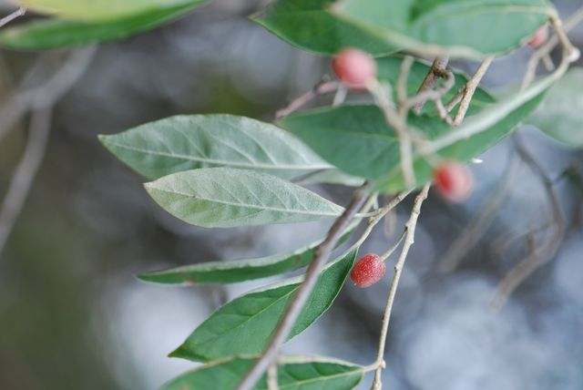 autumn-olive-underside-leaves