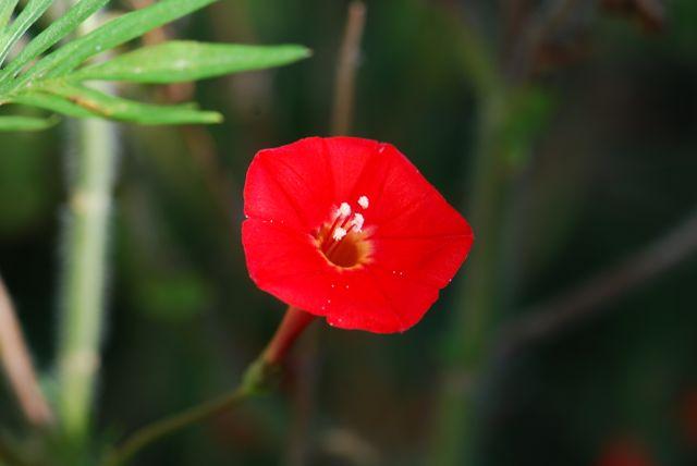 cardinal-climber-flower-222