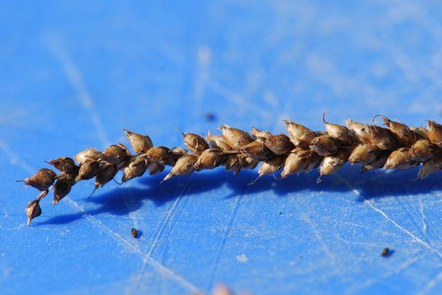 mystery-seed-stalk-227