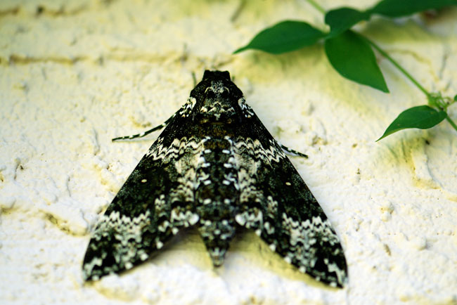 rustic-sphinx-moth-side-house