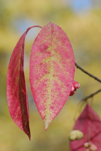 wahoo-leaves-colorful