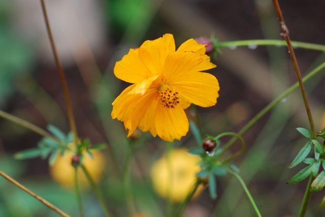 yellow-orange-cosmos-23