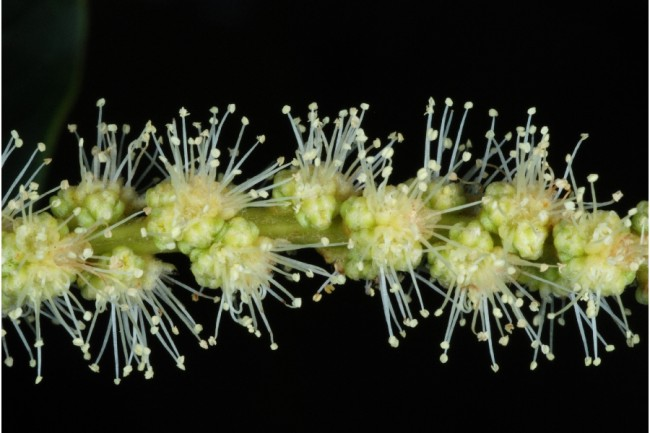 american-chestnut-flowers-male-catkin