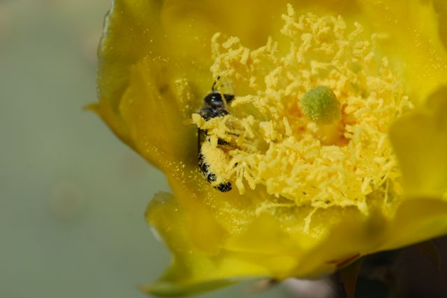 bee-with-pollen-full
