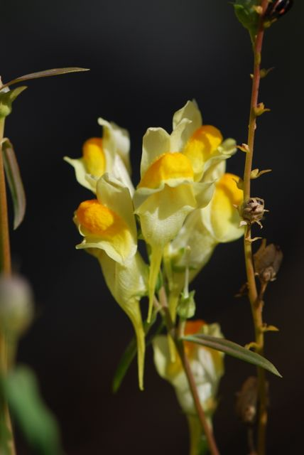 common-toadflax-flower-1