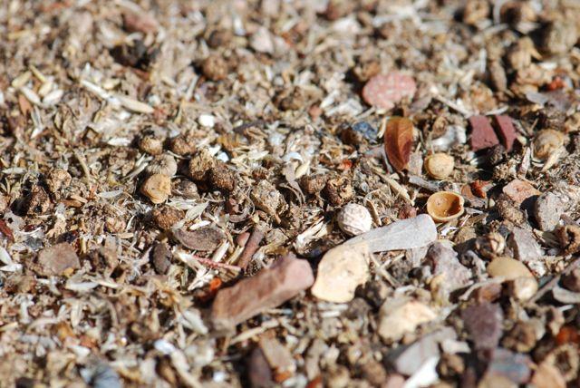 harvester-ant-middens-123