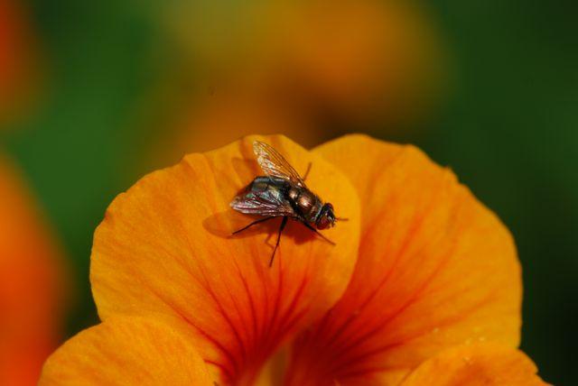 orange-fly-on-nasturtium-closer