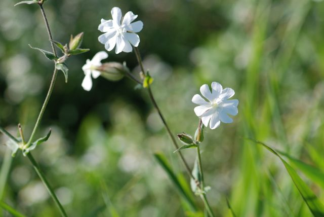 silen-white-campion-plants