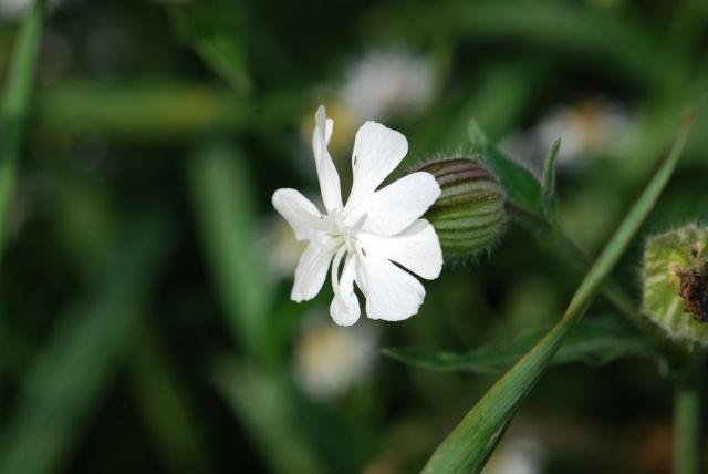 silene-flower-campion