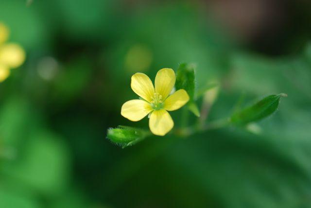 sorrel-flower-101