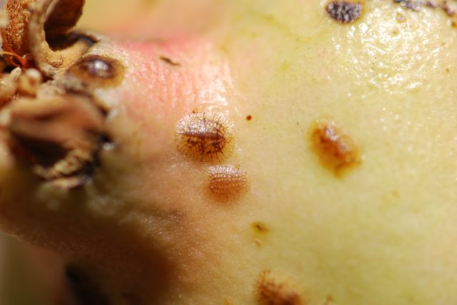 brown-scale-pomegranate-1