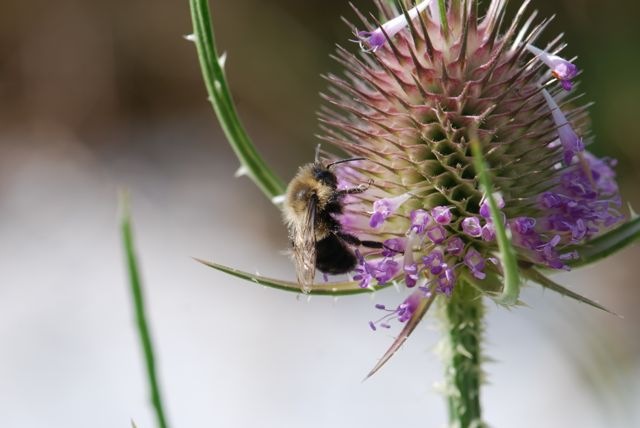teasel-bumble-bee