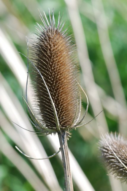 teasel-winter