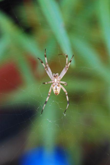 garden-spider-orb