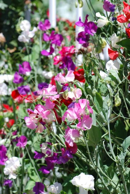 colorful-sweet-peas