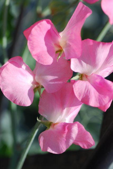 pink-sweet-peas