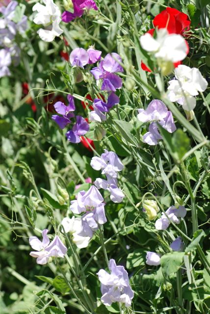 sweet-pea-flowers-april-1