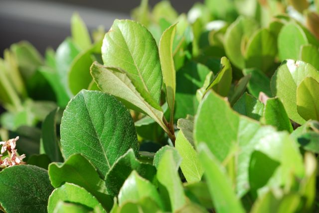 Indian-hawthorne-leaves